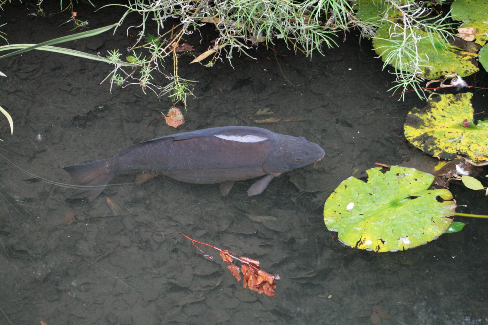 Japanischergarten Teich