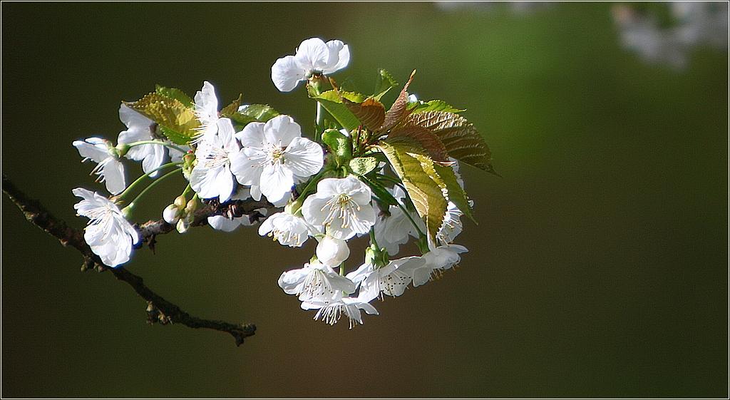 Jap.Blüte