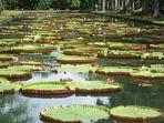 Jardin des Pamplemousses - das bekannteste Motiv dort..