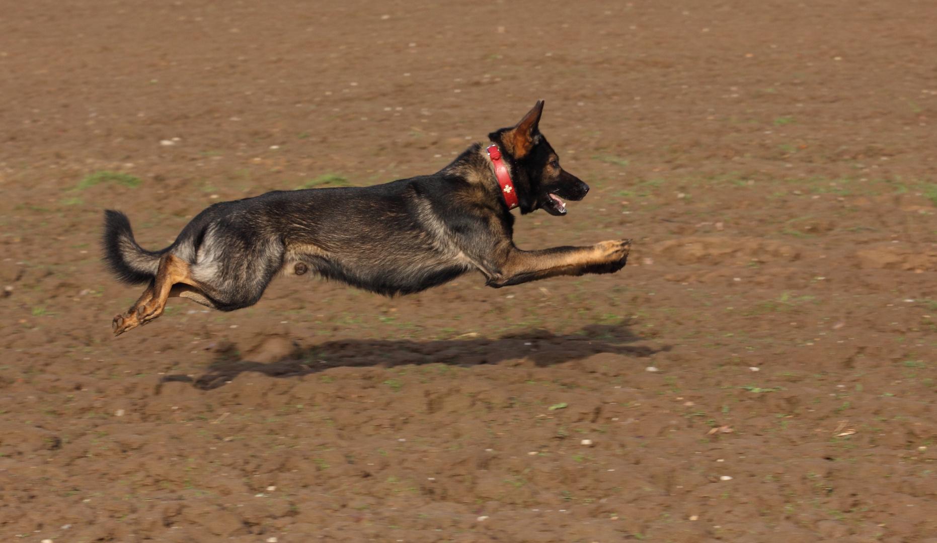 Jasper vom Haus Iris Deutscher Schäfferhund