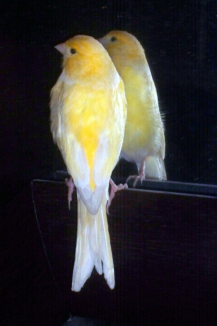 jaune canari