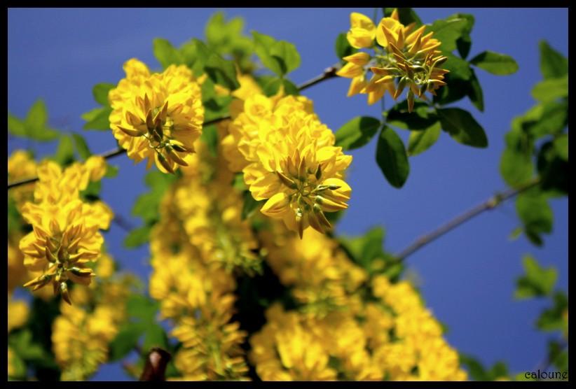 jaune soleil.....