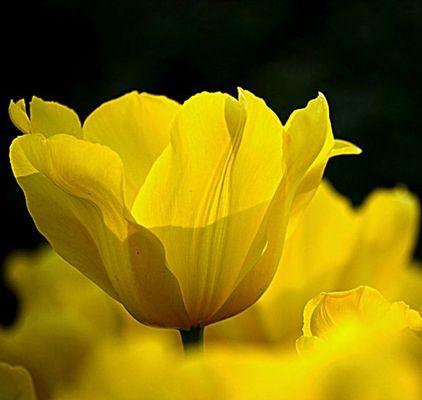 jaune transparent