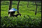 Java – Teepflücker