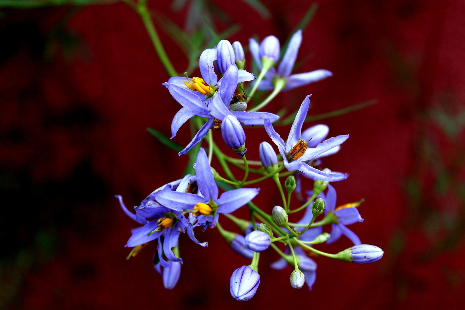Jazmín de Córdoba (Solanum)