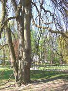 je älter desto verzweigter ... Baum im Kurpark Baden Baden