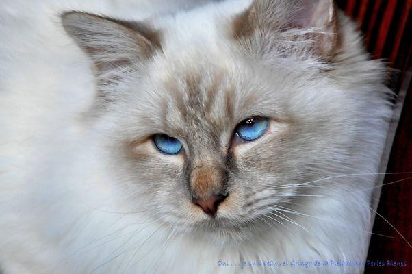 """Je m'appelle """" GRINGO - de la Pleiade aux Perles Bleues"""