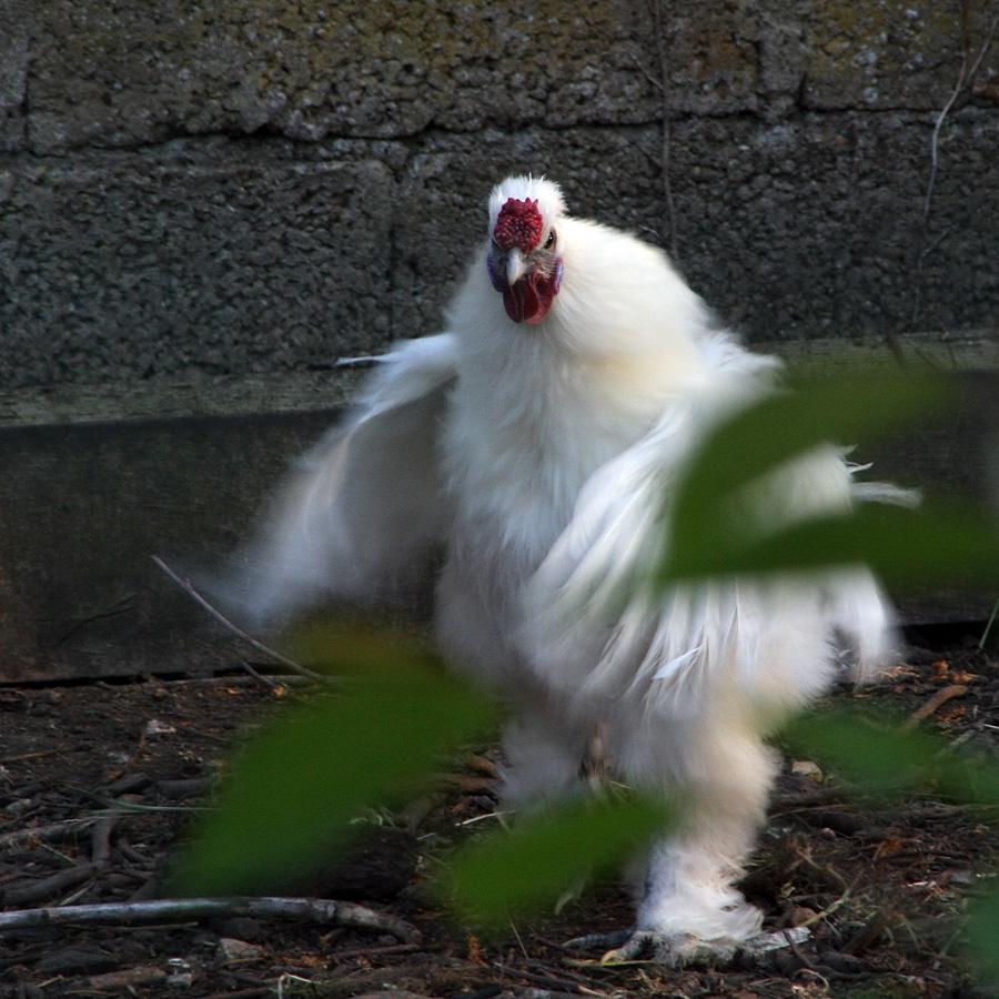 ... - Je vais te voler dans les plumes !!!!!