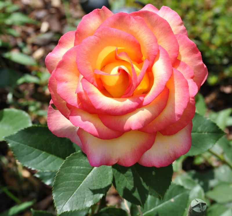 jean-piat-rose