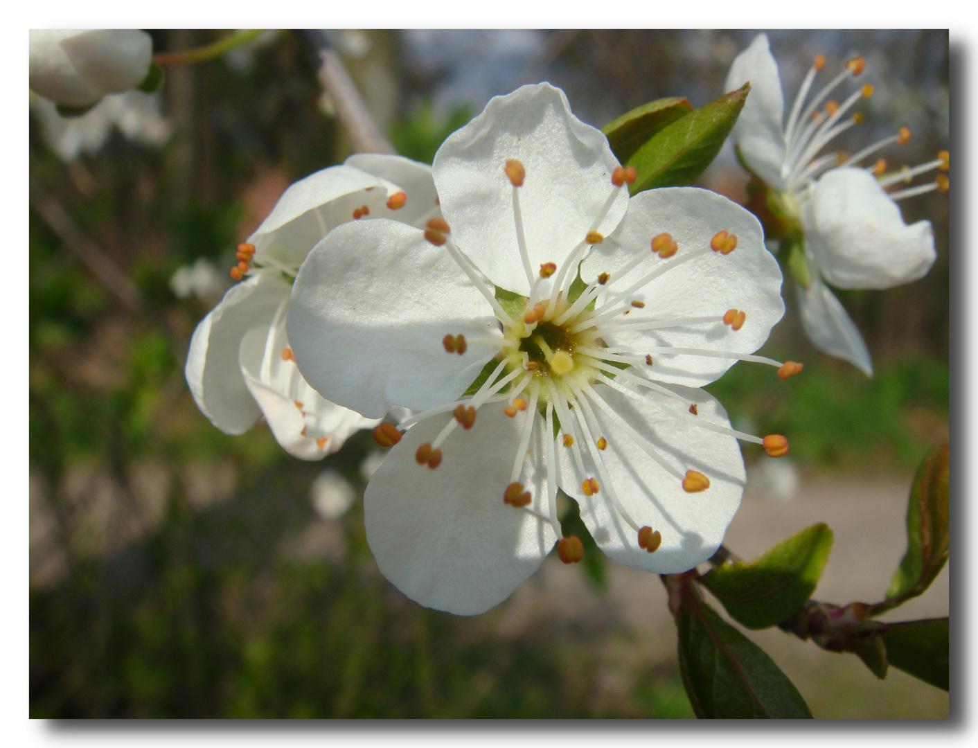 Jede einzelne Blüte ein Frühlingsgruss