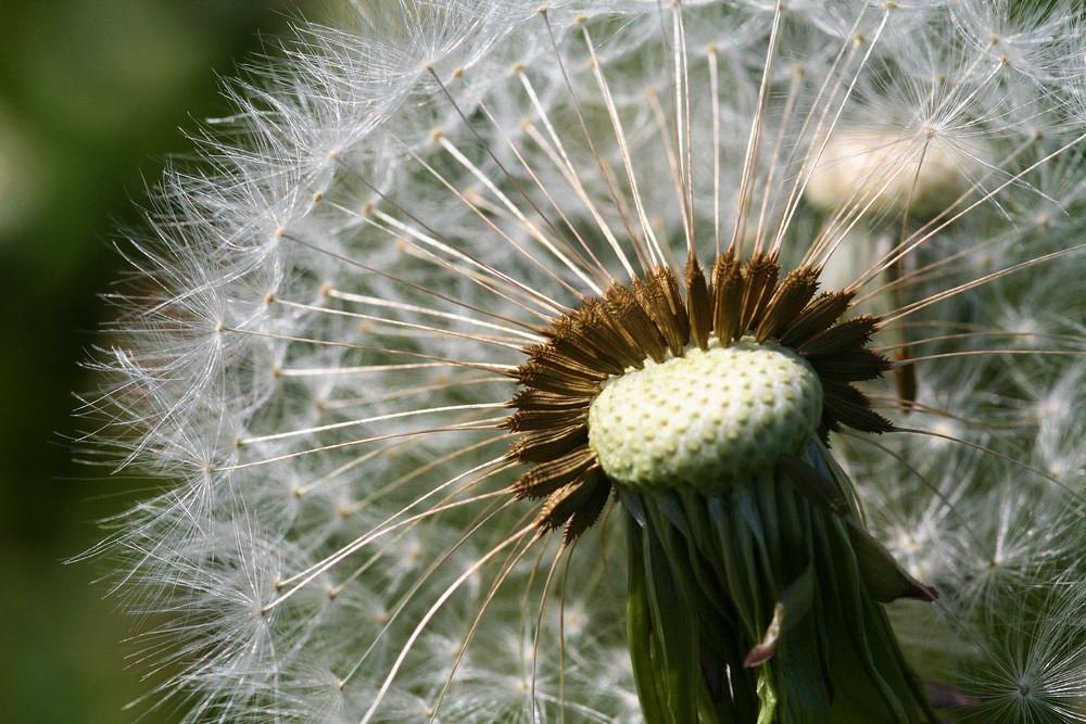 Jeder Samen mit eigenem Fallschirm