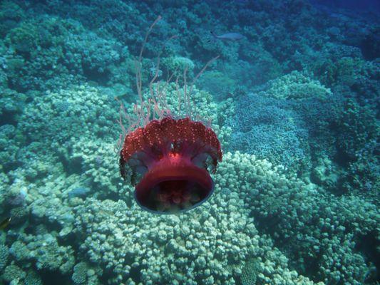 Jellyfish @ Soma Bay