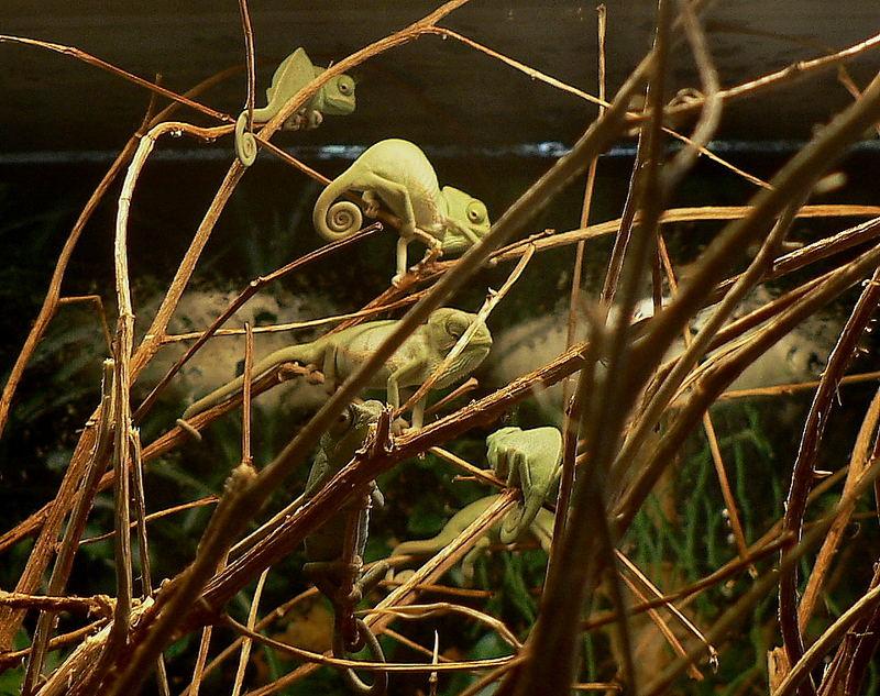 Jemenchameleons-Babys ,wenige Zentimeter gross