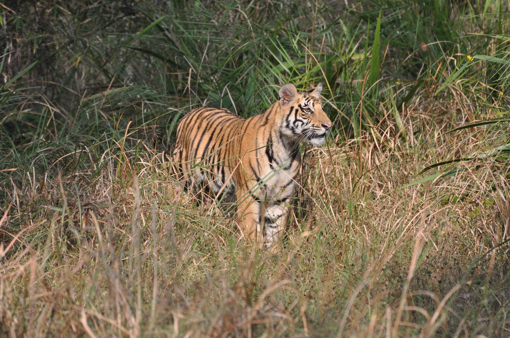 jene tigre de la reserve de Panna ( inde du nord )