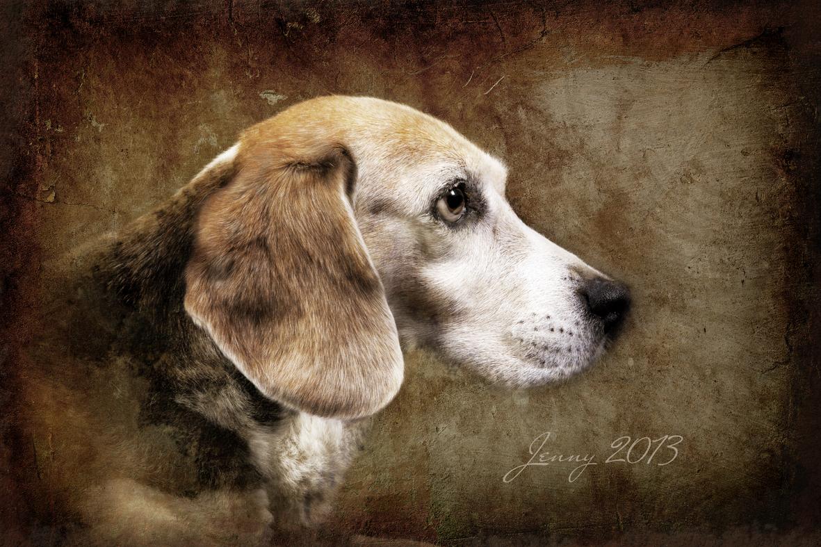 Jenny, eine 14 Jahre alte Beagledame