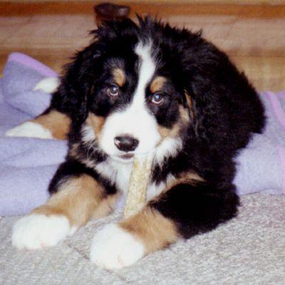 Jerry (Berner Sennenhund) als Welpe