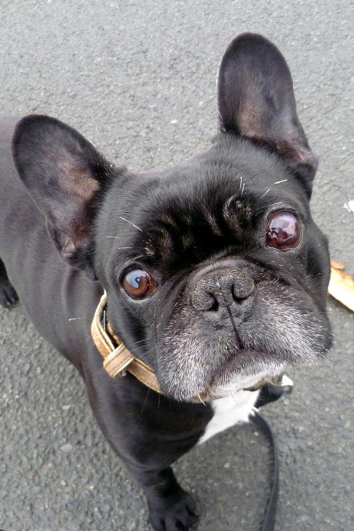 Jesse, Französische Bulldogge