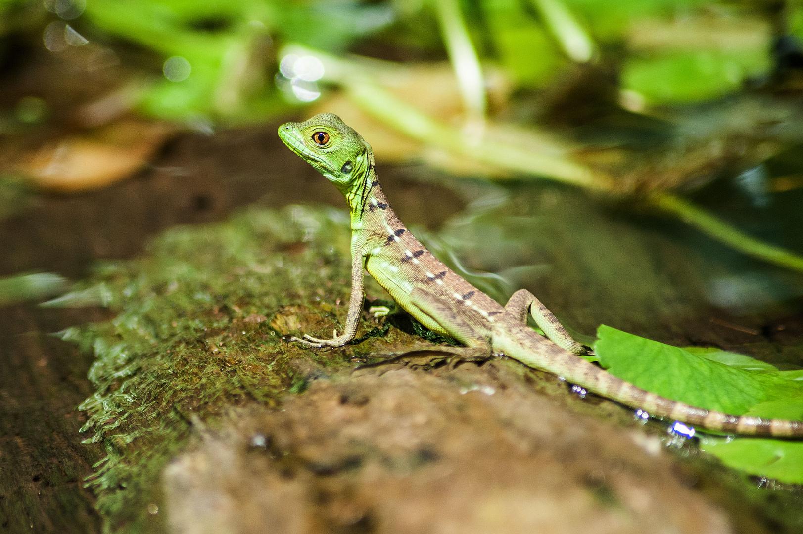 Jesus Christ Lizard in Costa Rica