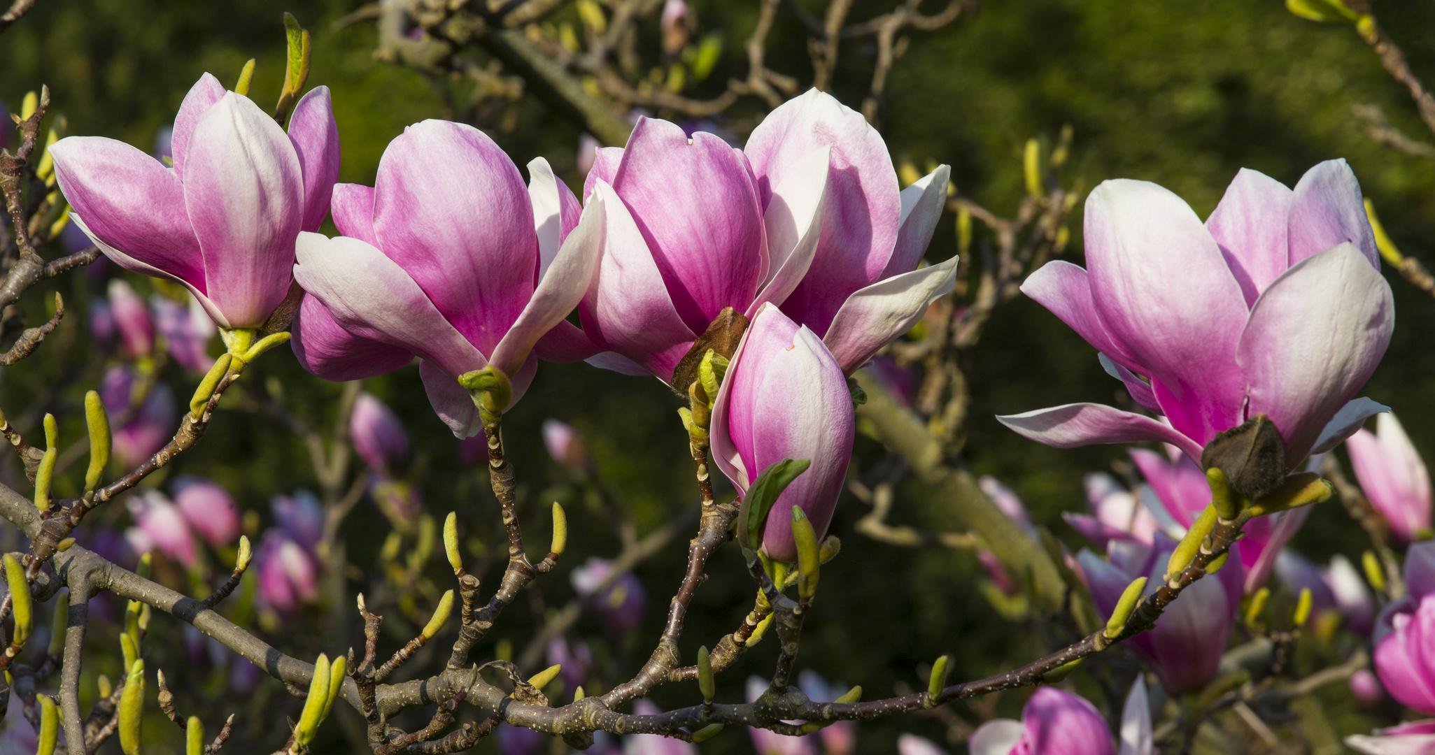 jetzt bl hen die magnolien in der wilhelma foto bild jahreszeiten fr hling b ume bilder. Black Bedroom Furniture Sets. Home Design Ideas