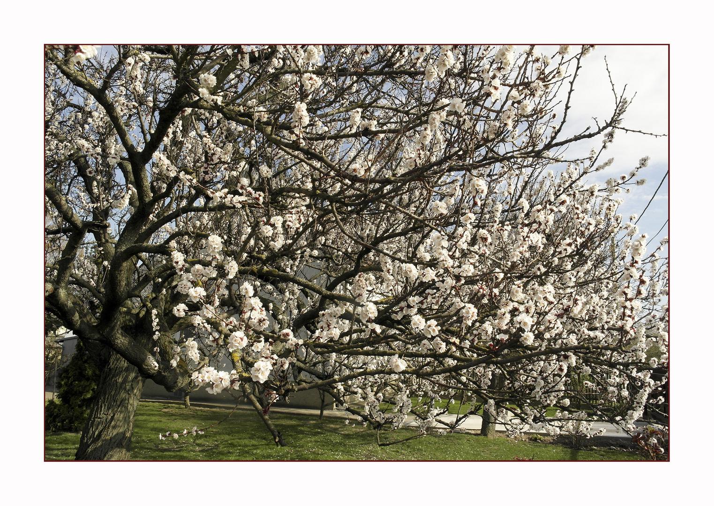 Jetzt blühen sie die Marillenbäume