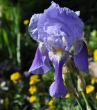 Jetzt blühen sie wieder - die Iris