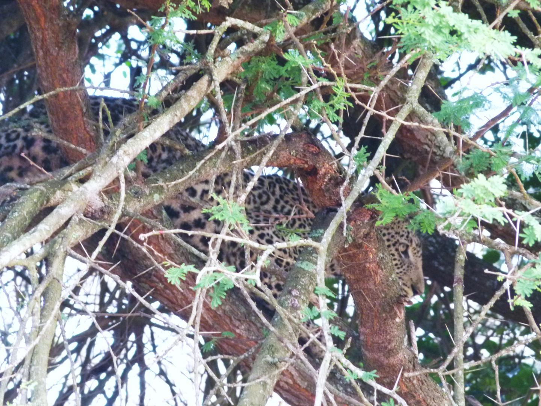 Jetzt ist der Leopard in Sicherheit auf einem Baum.