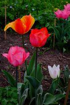 Jetzt mein Tulpen-Bild. Dann ist aber Schluss.