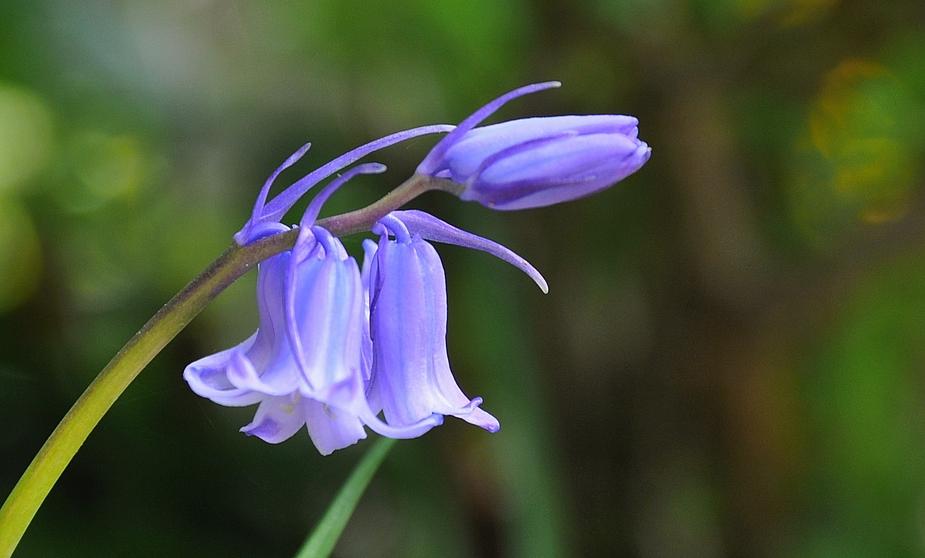 ...jetzt sind es viele blaue Glöckchen die den Garten besetzthalten :-)))