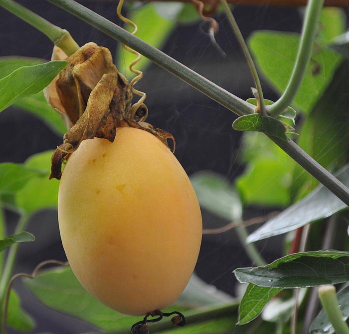 Jetzt werden die ersten Früchte der Passionsblumen reif