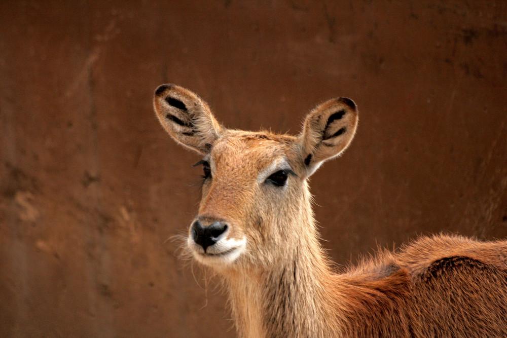 jeune antilope femellle