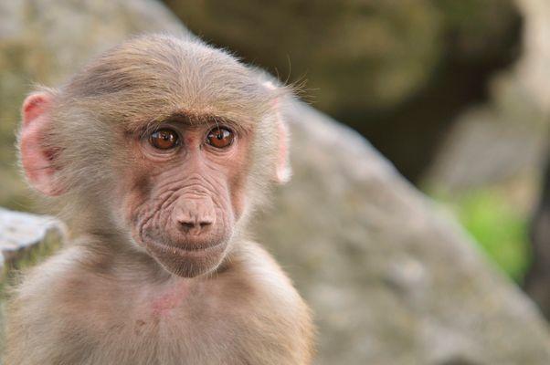 Jeune babouin