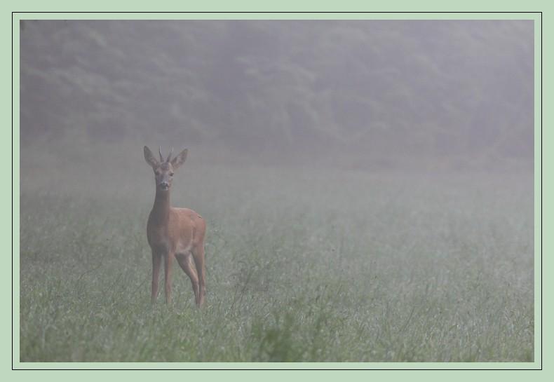 jeune chevreuil dans la brume