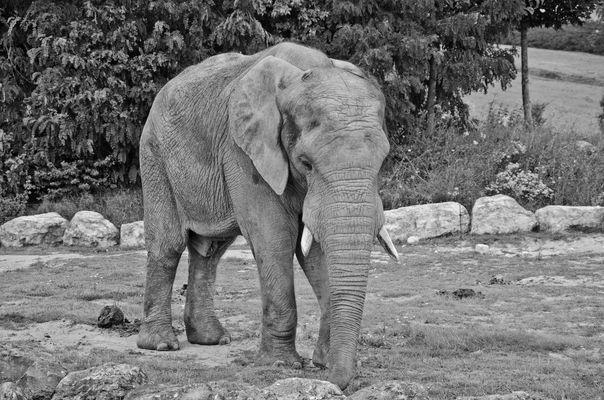Jeune éléphant au zoo de Beauval