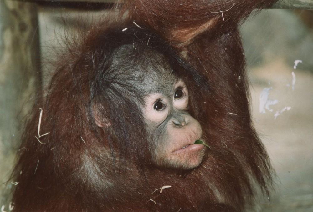 Jeune femelle Orang outan