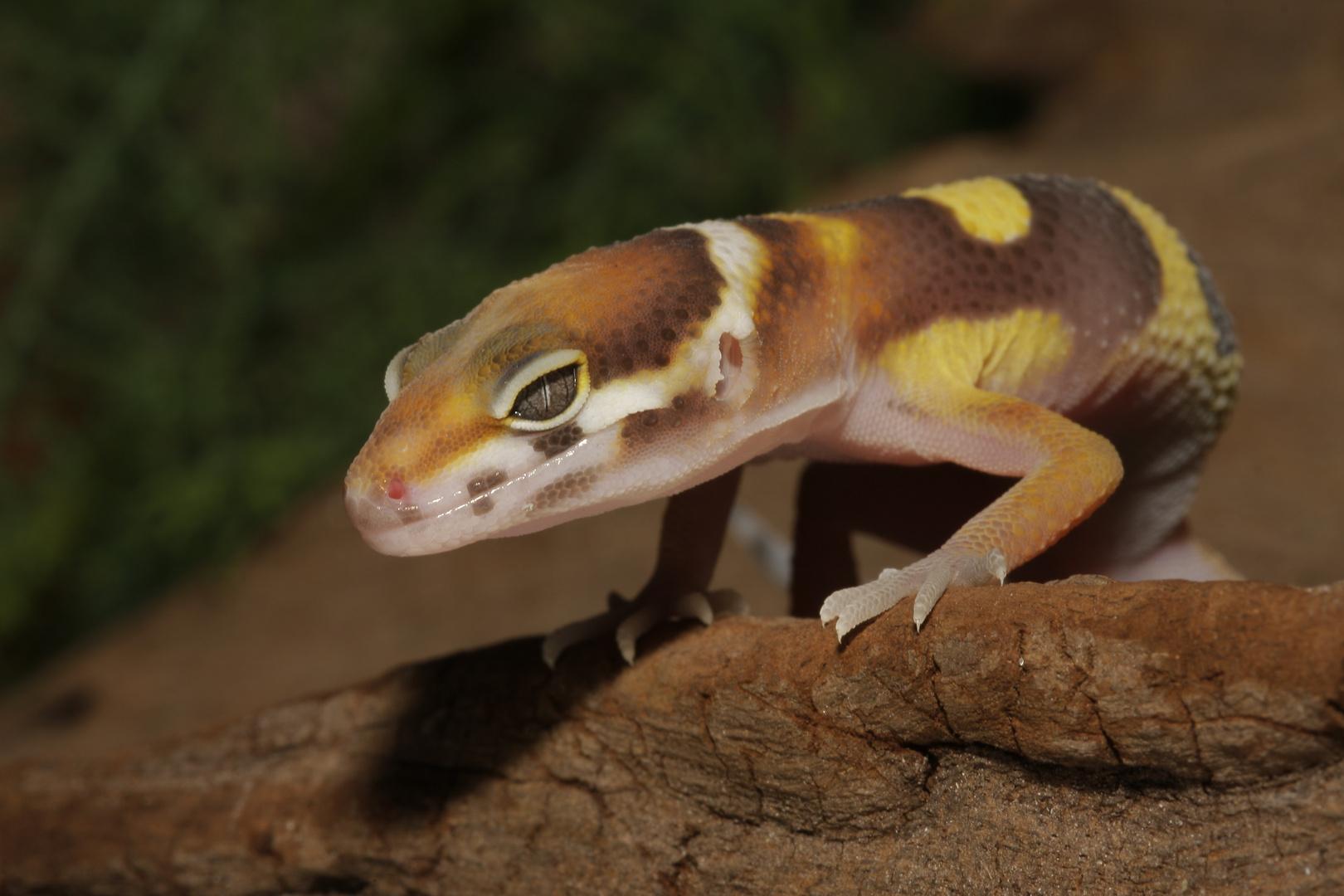 jeune Gecko