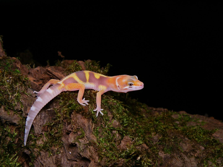 jeune gecko léopard