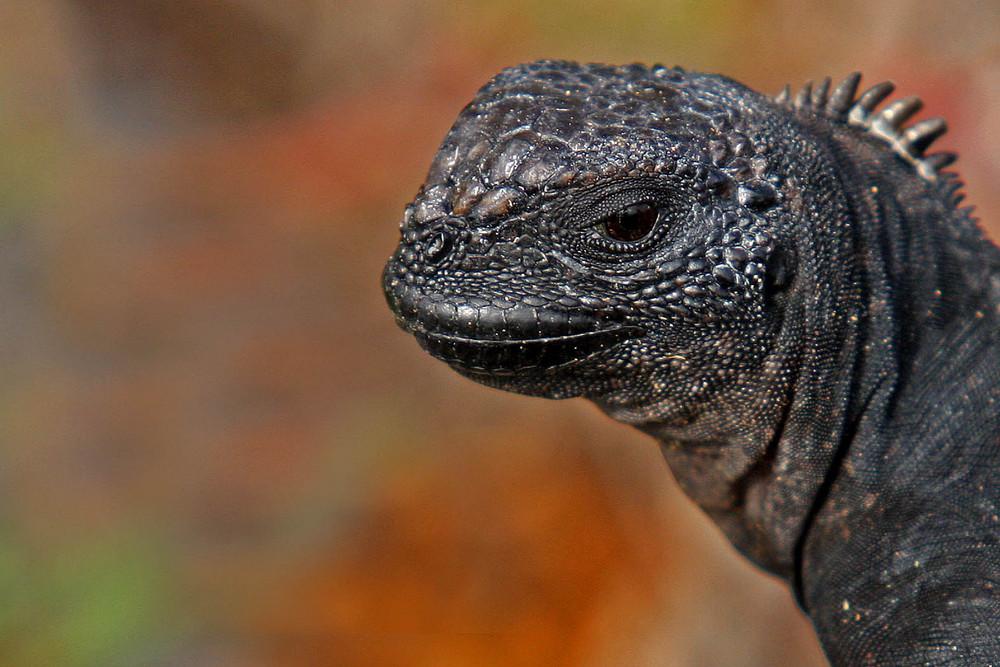 jeune iguane marin des Galapagos