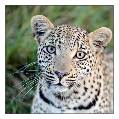 Jeune léopard