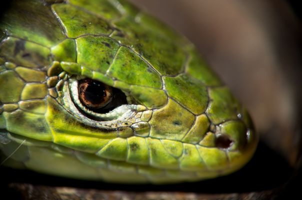 Jeune lézard vert, portrait serré