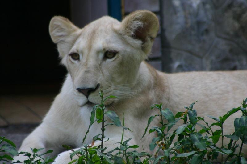 jeune lion