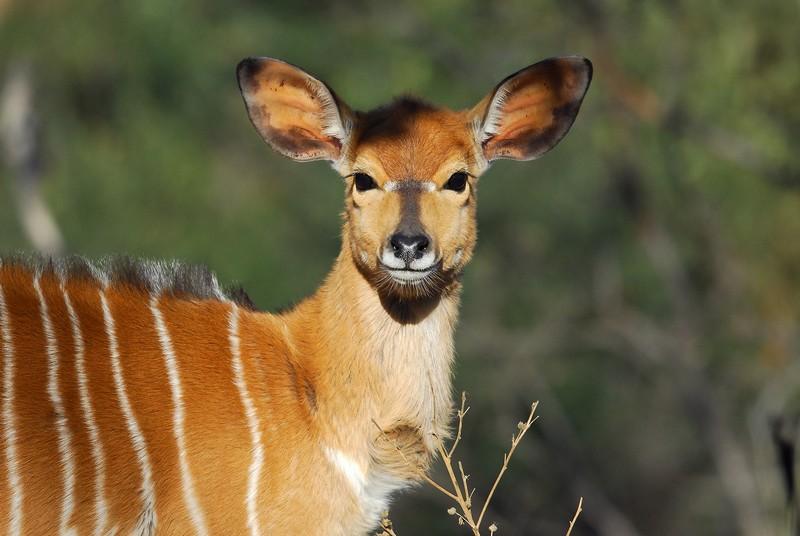 Jeune Nyala