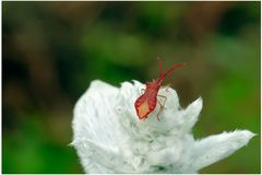 Jeune punaise sur épiaire laineuse
