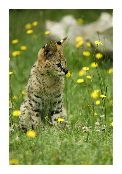 Jeune serval