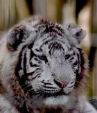 Jeune Tigre Blanc
