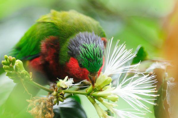 Jeune 'Ura ou Vini Kuhlï mangeant des fleurs