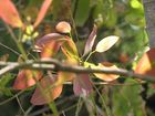 Jeunes branches d'eucalyptus