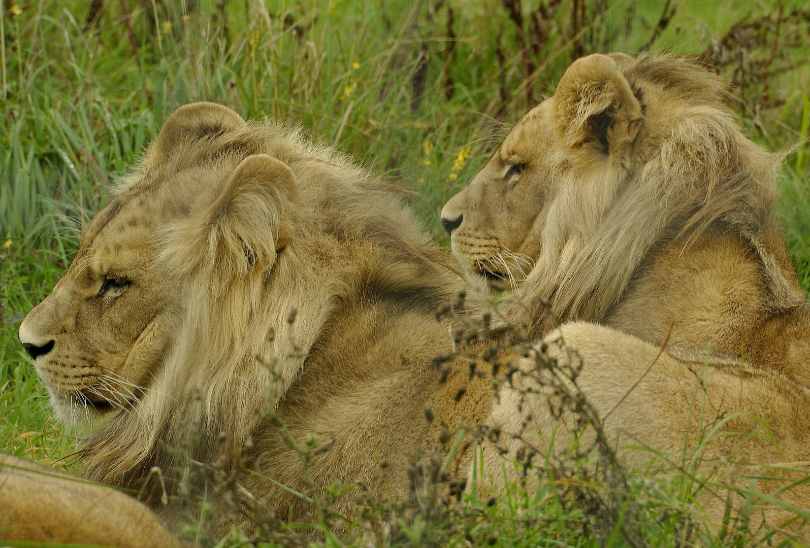 jeunes lions de l'angola