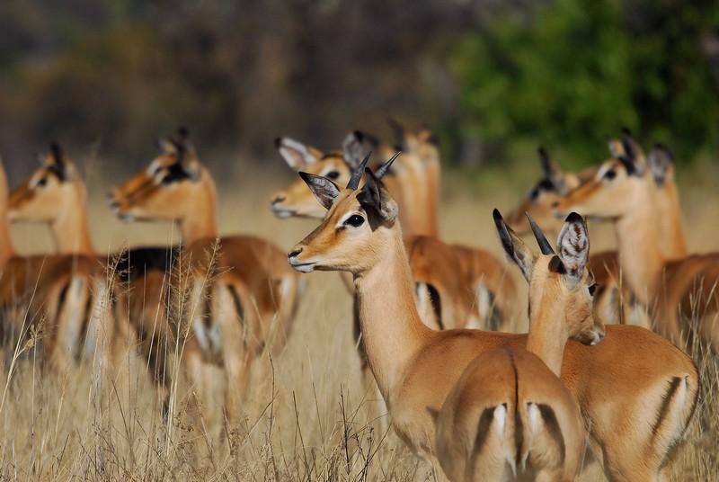 Jeunes mâles et femelles impalas.