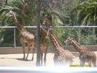 jirafas zoo san diego cal