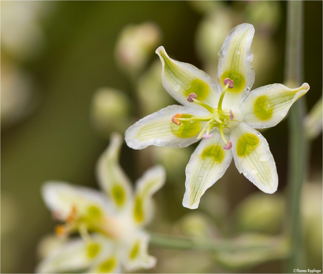 Jochlilie (Zigadenus elegans)